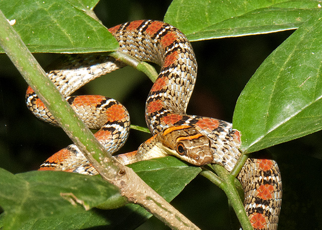 The Twin-Barred Tree Snake
