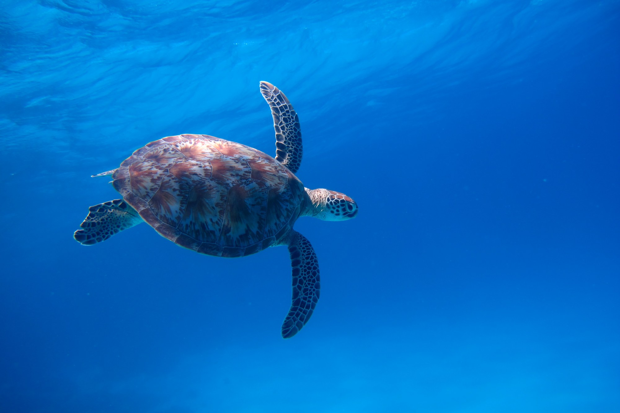 green-sea-turtle.jpg