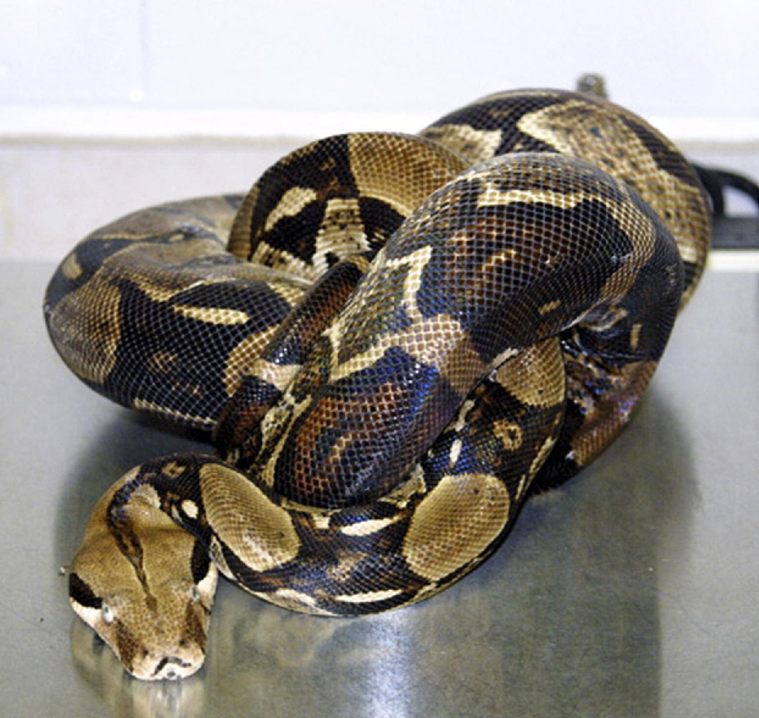 IBD python.jpg