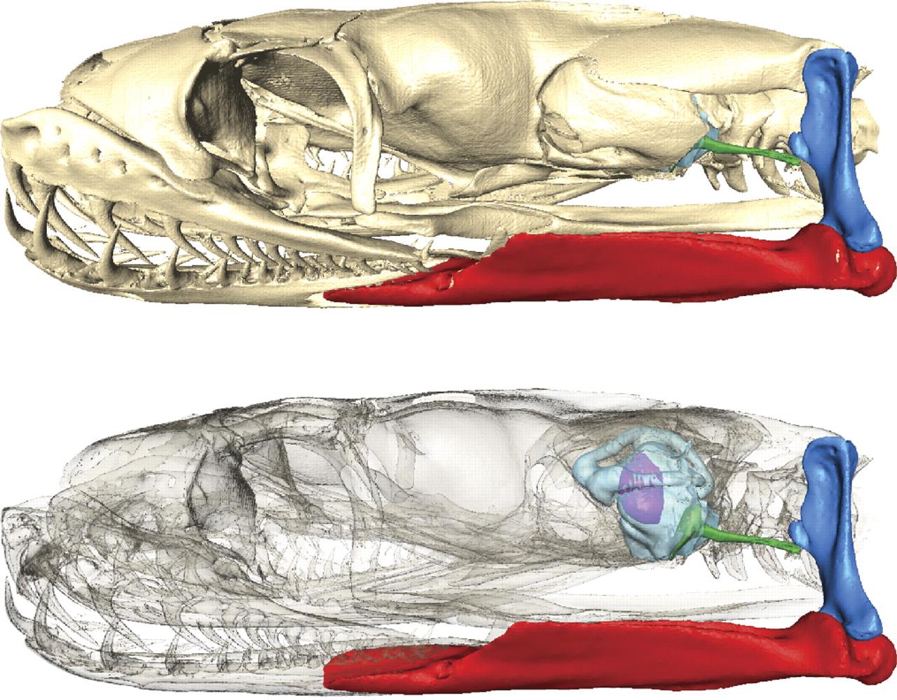 jaw bone of snake.jpg